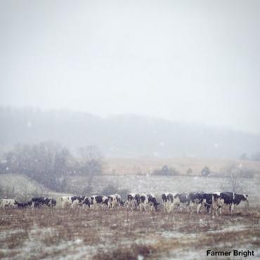 snow cows